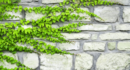 The green ivy curls on a stone wall
