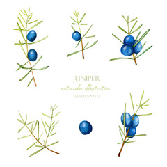 Watercolor juniper branches illustration collection, hand painted isolated on a white background