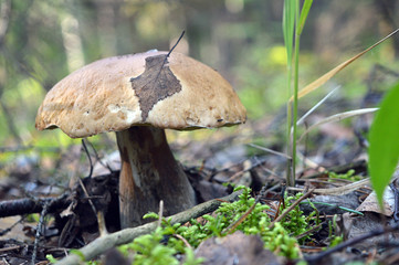 Forest mushroom, with an autumn leaf on the bonnet