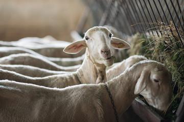 Fond de hotte en verre imprimé Sheep flock of sheep and lambs on the farm