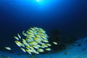 School of Snapper fish underwater