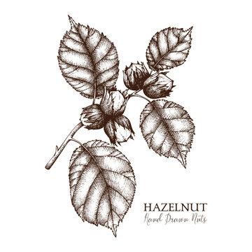Vector illustration of hand drawn hazelnut. Vintage nut sketch. Organic food drawing on white background.