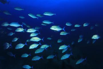 Trevally fish (Jackfish)