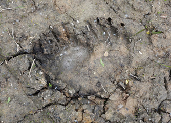 A close up of the footprint of brown bear on  ground.