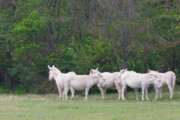 group of white donkeys standing in grassland