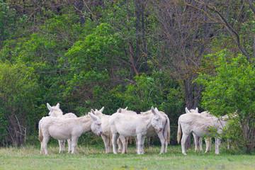 white donkeys standing in meadow