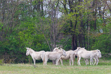 several white donkeys standing in grassland