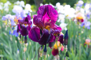 Flowers of irises of different colors.