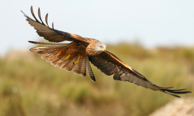 Awesome bird of prey in flight