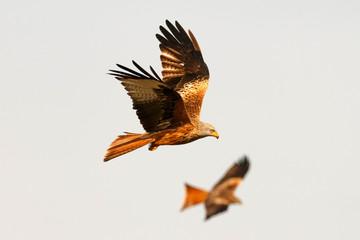 Awesome birds of prey in flight