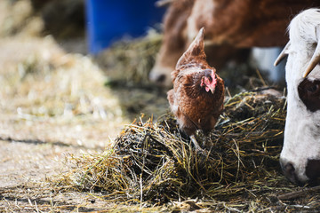 chicken walking around cow and brown cattle herd in small breeding husbandry livestock farming production industry ranch