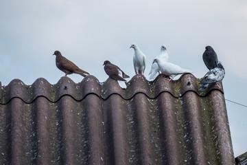 Verschiedene Tauben auf Dach