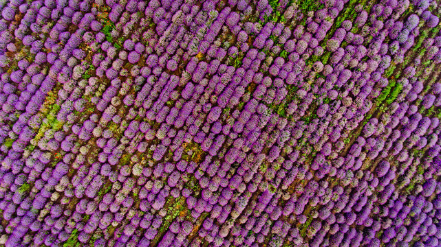 Lavender field aerial view. Top view.
