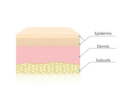 Skin layers vector