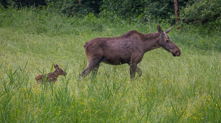 Moose cow with calf