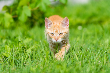 Portrait of little young kitten walk thru grass. Shallow depth of filed.