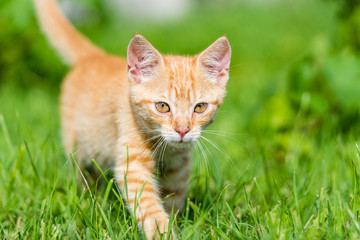 Portrait of little young red kitten walk thru grass. Shallow depth of filed.