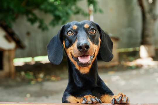 charming black dachshund cute looks at the wooden background