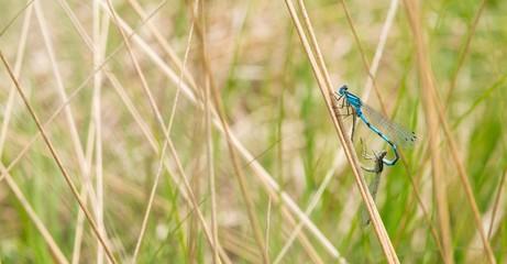 Gemeine Becherjungfer (Enallagma cyathigerum), Paarungsrad, Pietzmoor, Naturschutzgebiet Lüneburger Heide, Schneverdingen, Niedersachsen, Deutschland, Europa
