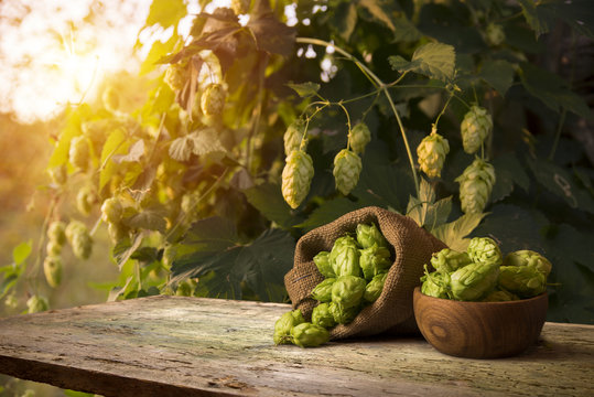 Still life with a keg of beer and hops.