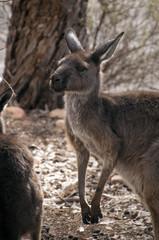 Wilpena South Australia,  Adult Kangaroo cautiously assessing surroundings