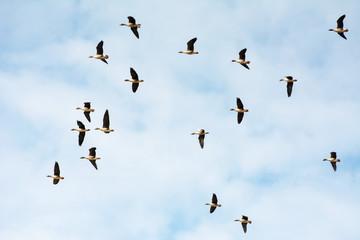 Flock of greylag geese against blue sky
