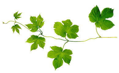 green hop leaves branch isolated on white background