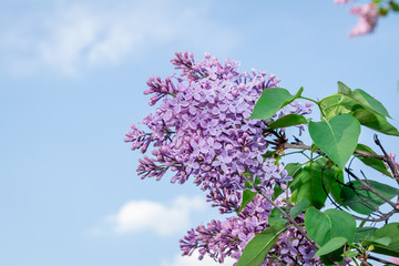 purple blooming lilac