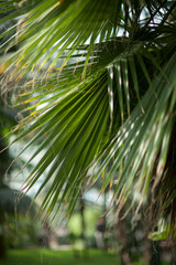 tropical jungle palm tree leaves in a greenhouse, close up, can be used as background