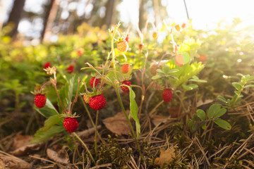 Wild strawberries at sunset in a pine forest.