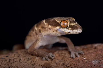 Van Son's thick-toed gecko (Pachydactylus vansoni)