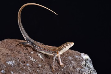 Ornate Sandveld Lizard (Nucras ornata)