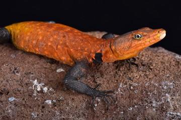Emperor flat lizard (Platysaurus imperator)