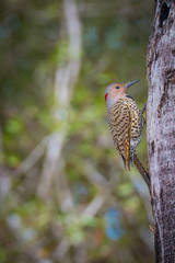 Cuban Green Woodpecker - Xiphidiopicus percussus