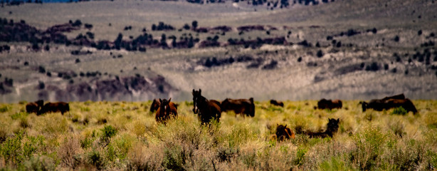 Wild mustangs near Dobie Meadows Road in Mono County, California