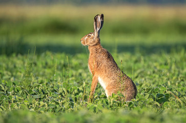 Wild brown hare sitting in a soy field