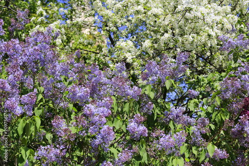 Beautiful flowering spring bushes and trees stock photo and royalty beautiful flowering spring bushes and trees mightylinksfo