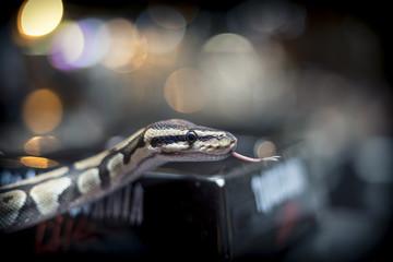 Photo sur cadre textile Vintage voitures python close up