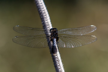 Dragonfly sitting on a rope closeup