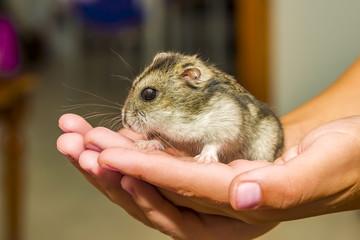 Grey dwarf hamster Gray macro, stands hairy, fur, ,