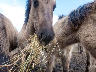 wild konik horses eating hay at Oostvaardersplassen in the Netherlands