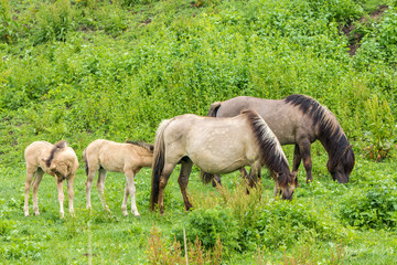 young wild Konik horse foals and adults in green meadow