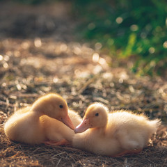 Ducklings. Two chicks in trave.Foto outdoors