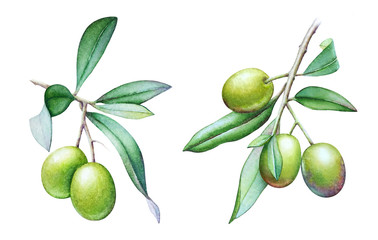 Watercolor illustrations of the olive tree branches with olives and green leaves