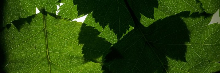 Background picture of green leaves. The leaves of the tree to the light.
