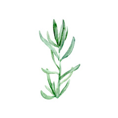 Botanical watercolor illustration sketch of Botanical watercolor illustration sketch of cute nature botanical elegant greenery Succulent plant on white background.