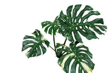Variegated plant leaves of monstera or split-leaf philodendron (Monstera deliciosa) the tropical foliage exotic houseplant isolated on white background, clipping path included.