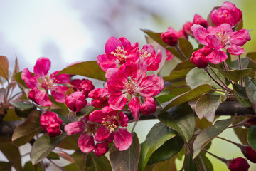 Branch of a blossoming apple tree with red flowers closeup