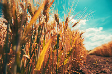 Wall Mural - Low angle view of barley field