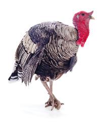 Dark turkey isolated